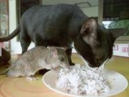 gato e rato comen no mesmo prato
