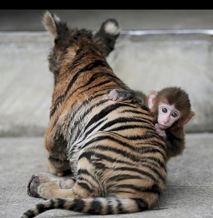 macaco tigre