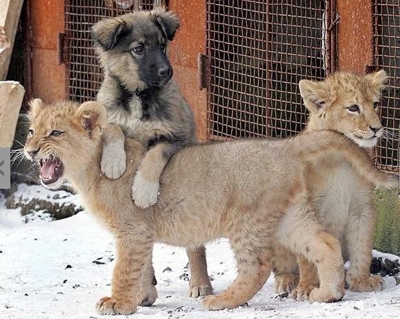 perro y tigre