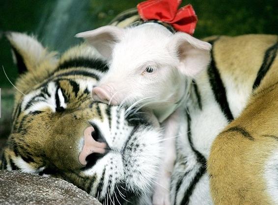 tigre porco