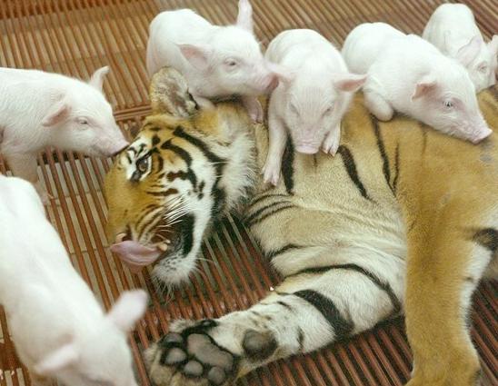 tigre porquinhos