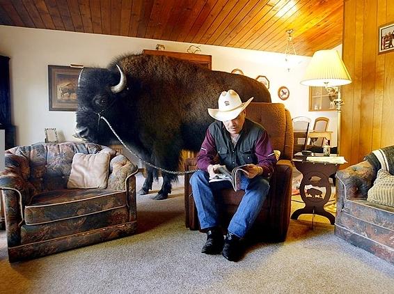 vaquero e bufalo